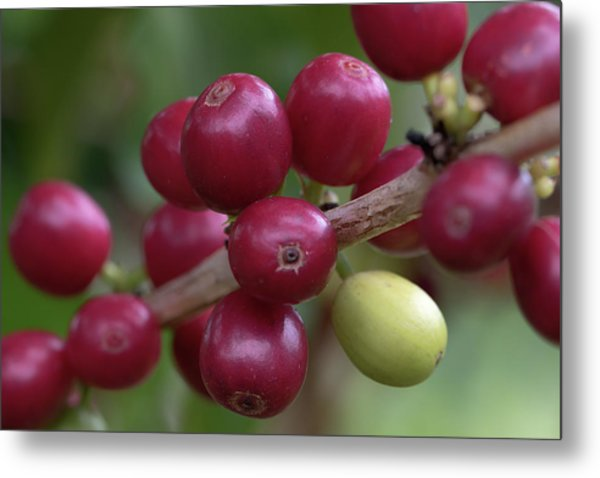 Metal Print featuring the photograph Ripe Kona Coffee Cherries by Susan Rissi Tregoning