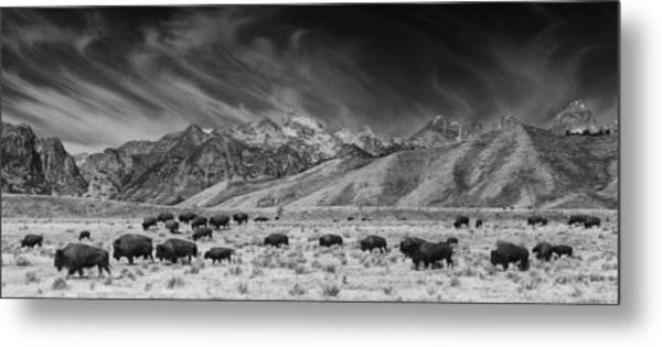 Roaming Bison In Black And White Metal Print