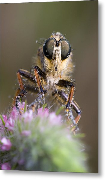 Robberfly Metal Print by Andre Goncalves