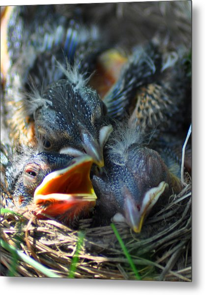 Robbin Nest Metal Print by Diane E Berry