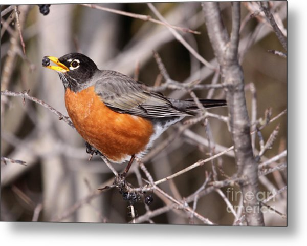 Robin Eating Metal Print by Chris Hill