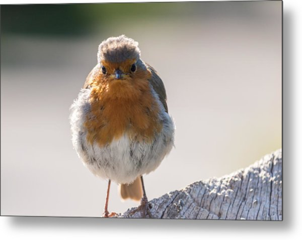 Robin Front Metal Print
