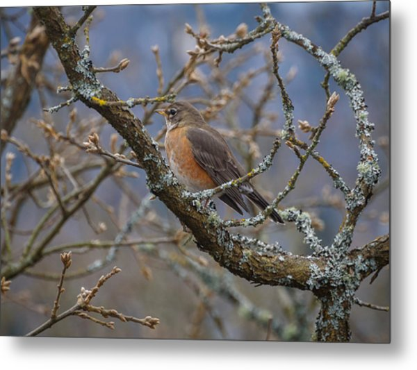 Robin In A Tree Metal Print