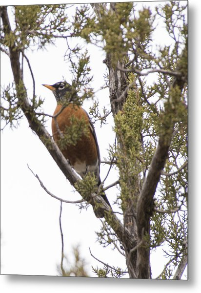 Robin On The Lookout Metal Print