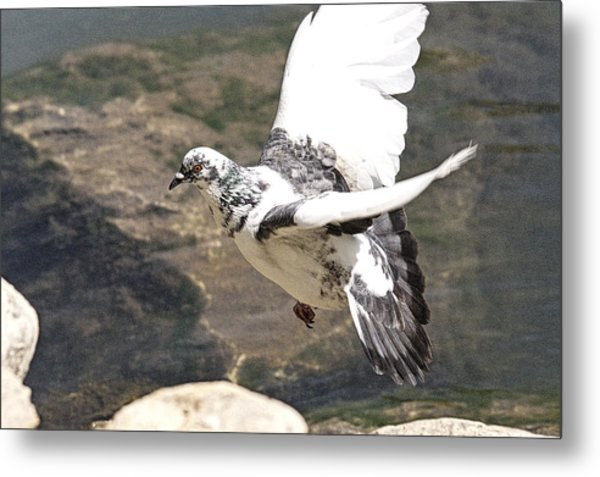 Rock Pigeon In Flight Metal Print