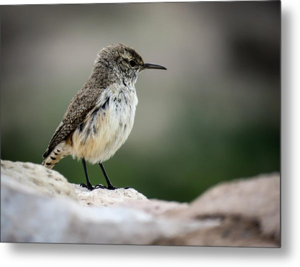 Rock Wren Metal Print