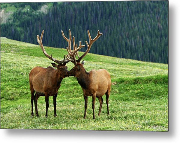 Rocky Mountain Elk 2 Metal Print