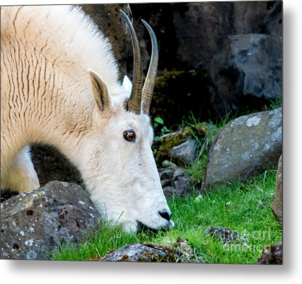 Rocky Mountain Goat Busy Eating Metal Print