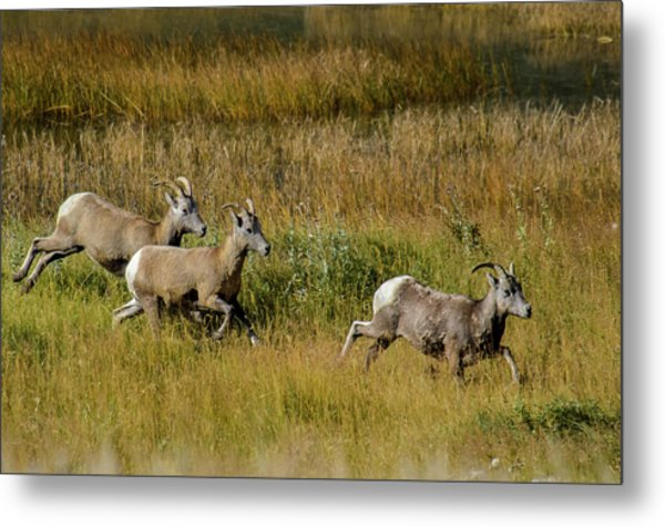 Metal Print featuring the photograph Rocky Mountain Goats 7410 by Donald Brown