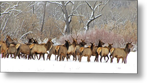 Rocky Mountain Winter Elk Metal Print