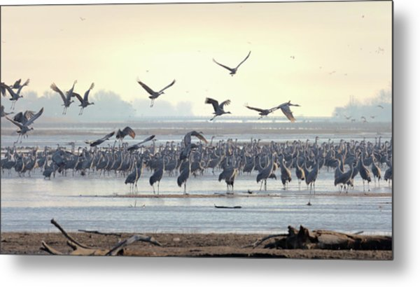 Metal Print featuring the photograph Roosting On The Platte by Susan Rissi Tregoning