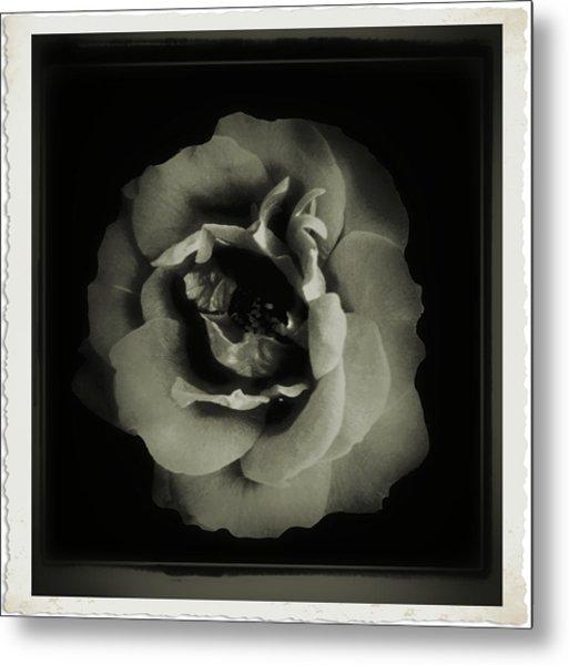 Rose 12 Metal Print