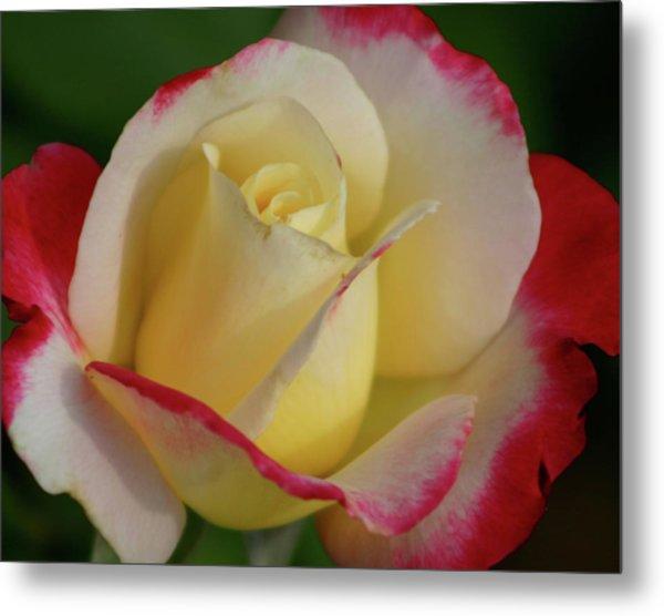 Rose 3913 Metal Print