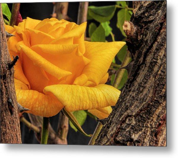 Rose And Thorns Metal Print