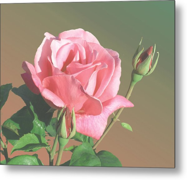 Rose And Two Buds Metal Print by Wilbur Young