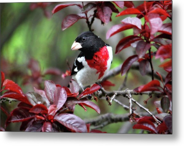 Rose-breasted Grosbeak Metal Print