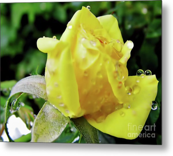 Rose Bud Dew Drops Metal Print
