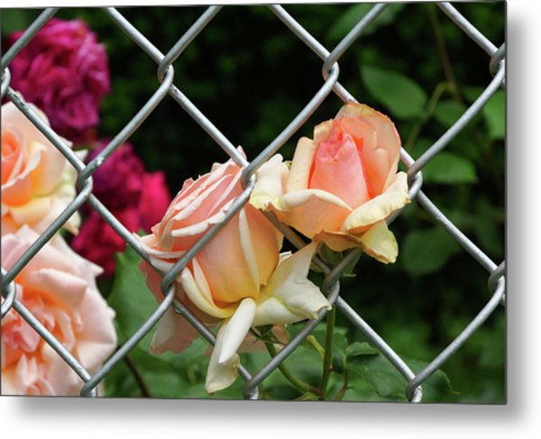 Rose Fence Metal Print