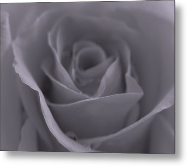 Rose In Black And White  Metal Print by Juergen Roth