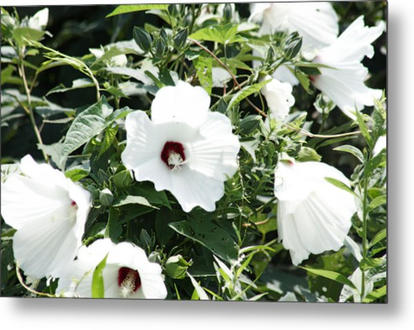 Rose Mallow Metal Print