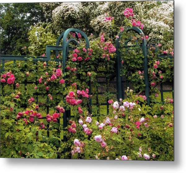 Rose Trellis Metal Print