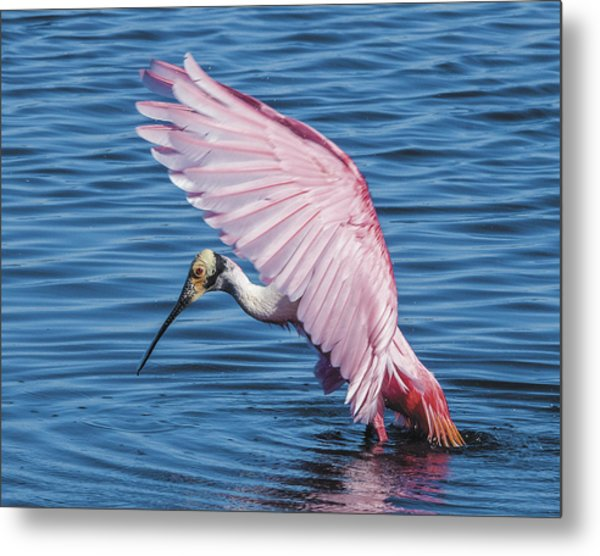 Roseate Spoonbill Profile With Wings Over Her Head Metal Print