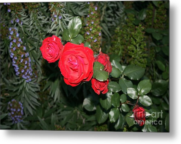 Metal Print featuring the photograph Roses Among by Cynthia Marcopulos