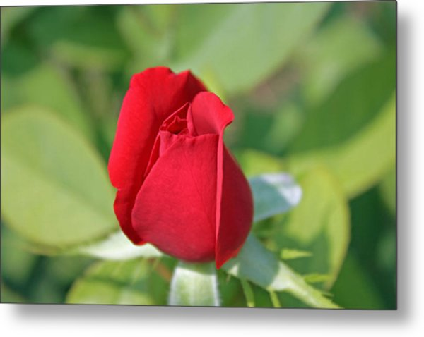 Roses Are Red Metal Print by Dawn Davis