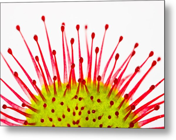 Round-leaved Sundew Drosera Rotundifolia Metal Print