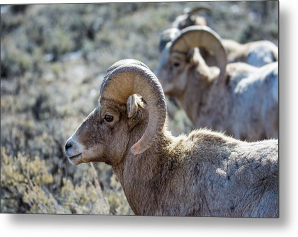 Row Of Sheep Metal Print