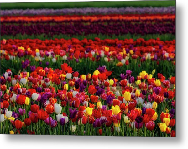 Metal Print featuring the photograph Rows Of Tulips by Susan Candelario