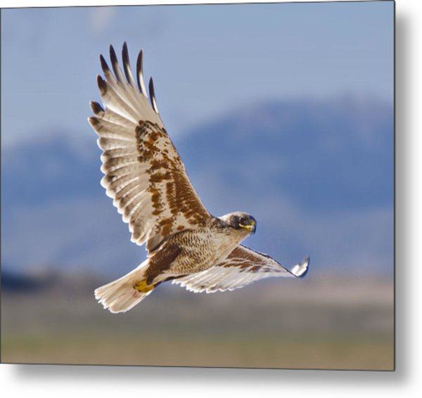 Royal Hawk Metal Print