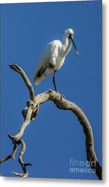 Royal Spoonbill 01 Metal Print