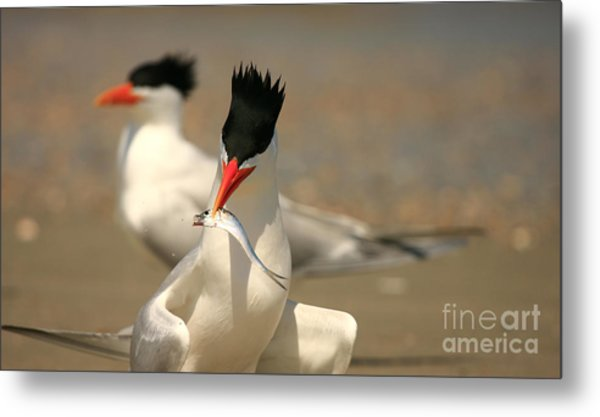 Royal Tern Catch Metal Print