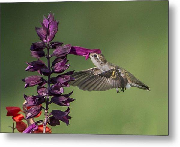 Ruby Throated Hummingbird At Purple Salvia Flower Metal Print