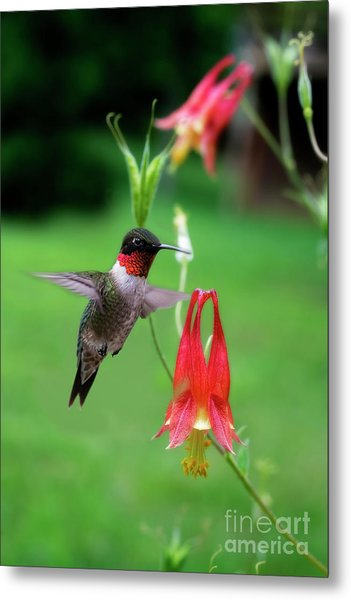Ruby-throated Hummingbird  Looking For Food Metal Print