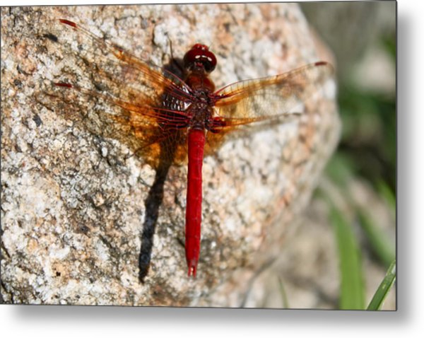 Ruby Metal Print by Tracey Levine