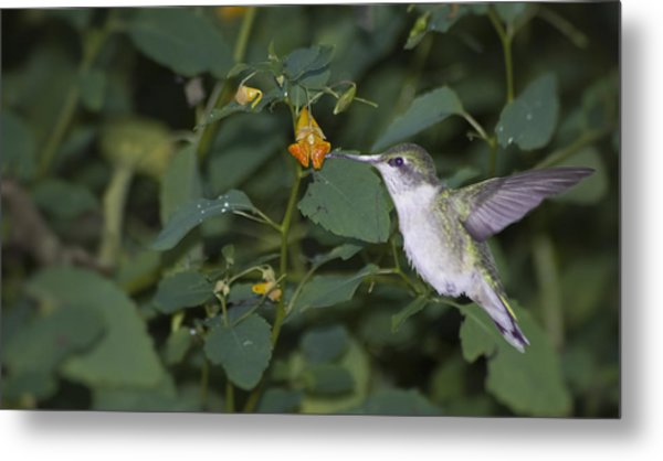 Metal Print featuring the photograph Rubythroated Hummingbird And Jewel Weed by Wade Clark