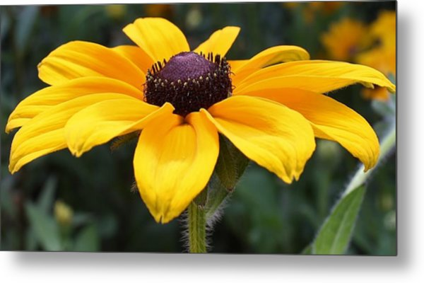 Rudbeckia Bloom Up Close Metal Print
