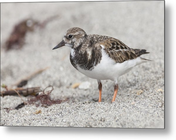Ruddy Turnstone On The Beach Metal Print