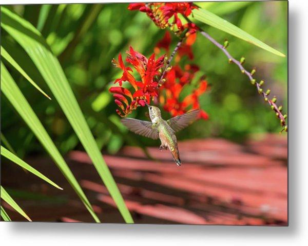 Rufous Hummingbird Feeding On Flower Nectar Metal Print