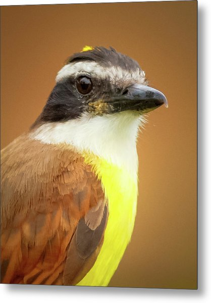 Rusty Margined Flycatcher Parque Del Cafe Colombia Metal Print