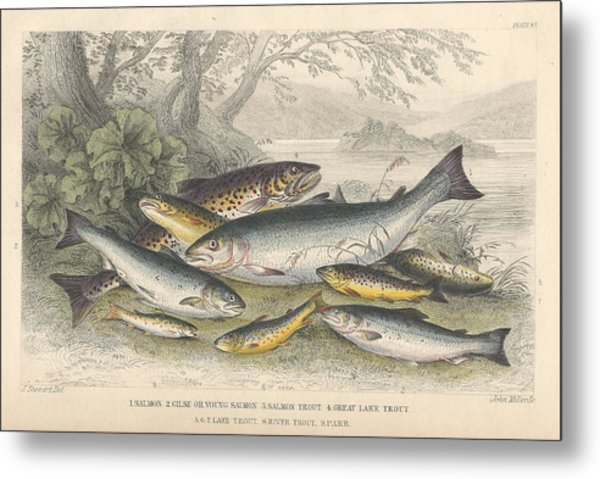 Salmon And Trout Metal Print