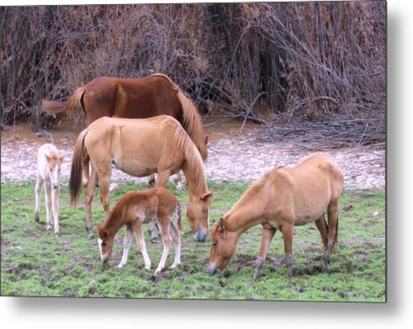 Salt River Wild Horses In Winter Metal Print