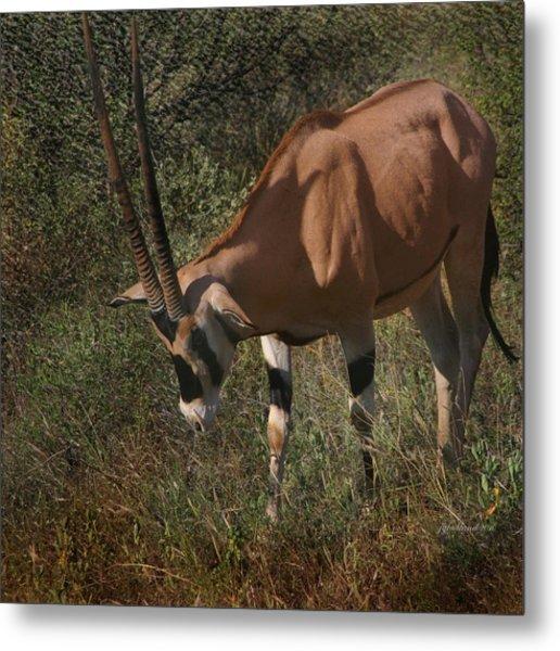 Samburu Oryx Metal Print