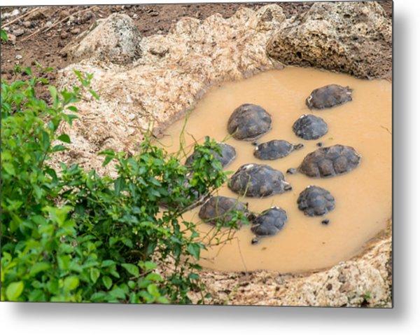 San Cristobal 2-year Old Tortoises Metal Print by Harry Strharsky