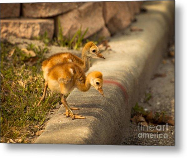 Sandhill Crane Chicks 3 Metal Print