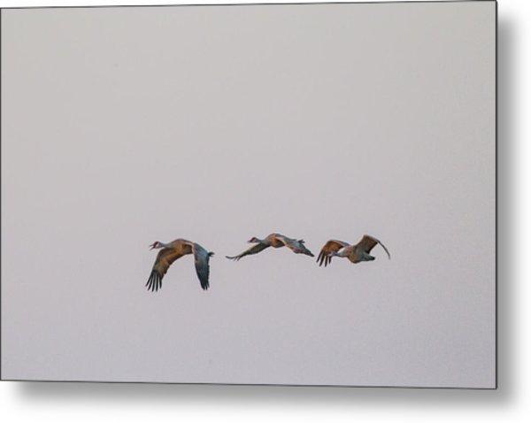 Sandhill Crane Flying 2 Metal Print