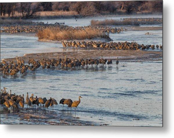 Sandhill Crane Platte River  Metal Print