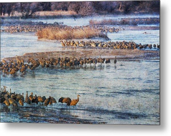 Sandhill Crane Platte River - Textured Metal Print